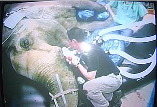 cura carie elefante